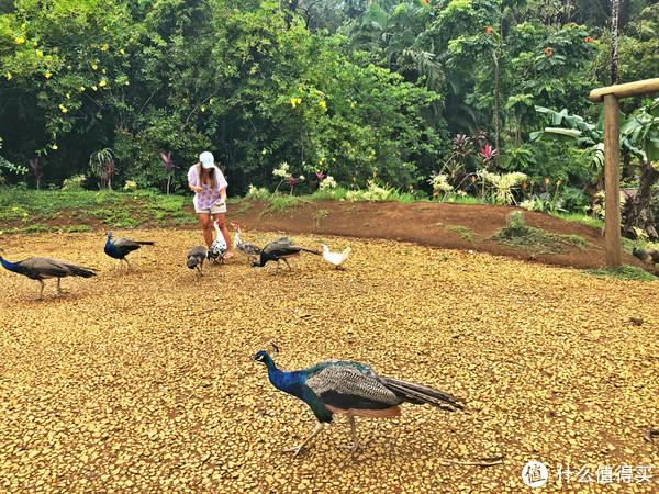 可以喂孔雀和鸭子