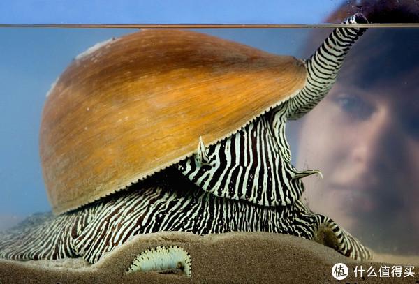 椰子涡螺。图片:Gist