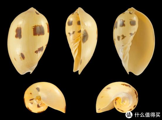 椰子涡螺的壳。图片:H. Zell / Wikipedia