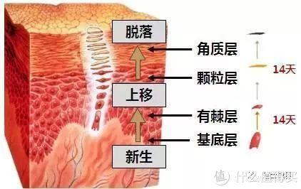 角质层是老花了的皮肤组织层,会自然脱落(图侵删)