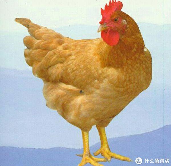 三黄鸡(毛爪皮均为黄色)👆