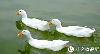细骨农家鸭👆