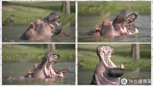 河马(hippo)
