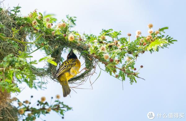 织巢鸟(weaverbird),团友在酒店内所拍,美的像一幅画