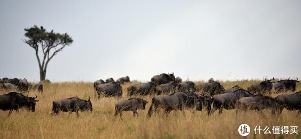 角马(wildebeest),也叫牛羚,是动物大迁徙的主角,也是这片草原上最勤快的动物,一年四季不停的追寻青草,一路被追杀,一路又繁衍生息