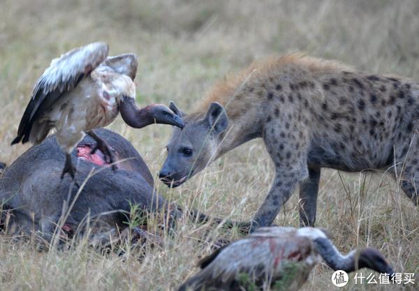 斑点鬣狗(spotted hyaena),脾性凶猛,是顶级掠食者,它的到来使秃鹫们让出C位