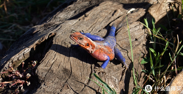 彩虹飞蜥(rainbow lizard)的颜色和蜘蛛侠一样,其体色在夜晚时是不显眼的灰色,但照到太阳体温升高后就会变为彩色,团友拍摄于马赛马拉大门口