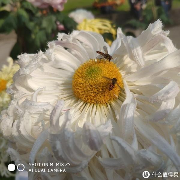 比公园更美的校园—上海大学宝山校区菊花节