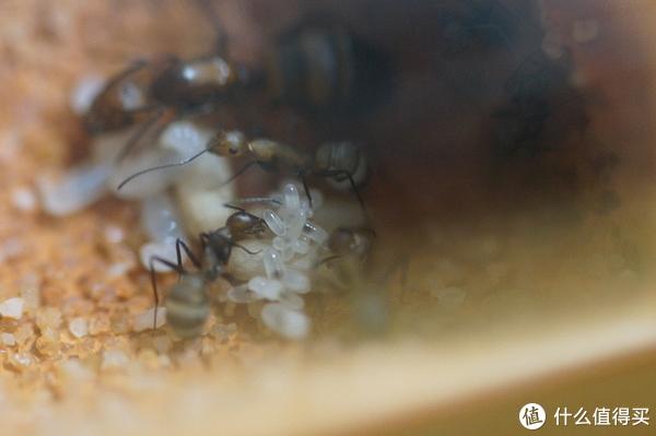 照顾卵和幼虫的工蚁