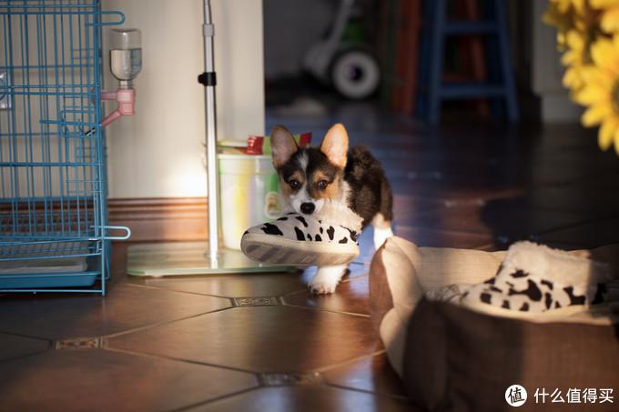 ▲那时候托米最喜欢的玩具就是家里的拖鞋,一定要全部咬到自己窝里去,心想全是我的,灭哈哈。。