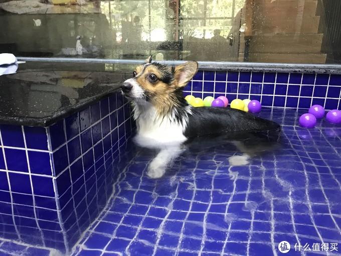 """▲狗生当中第一次游泳,由于没有尾巴,所以在水里掌握平衡很难,多次""""翻车"""",看看它那惊恐的表情吧。"""