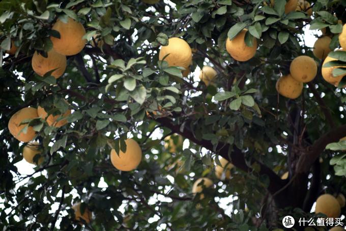 长沙有很多这样的柚子树,结出来的柚子都很小,味道也很涩,没法吃,只能当观赏。