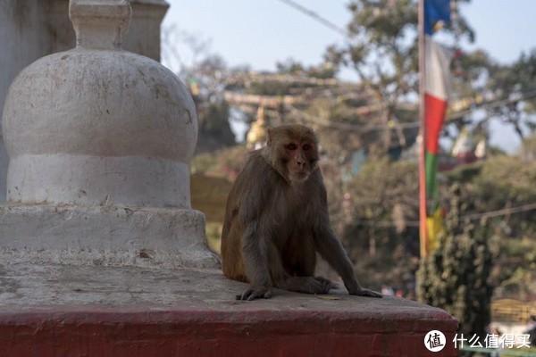 斯瓦扬布纳寺里的猴子