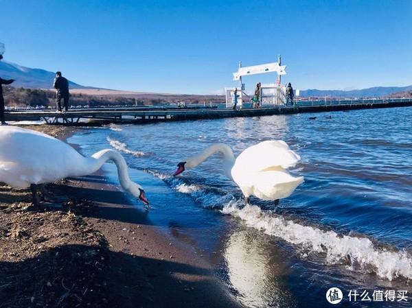 山中湖的天鹅,会到你手里来抢食物吃,一点都不怕人