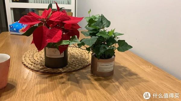 圣诞节在宜家买的两个小盆栽,很是喜庆