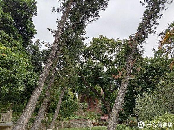 一栋别墅前长斜了的树
