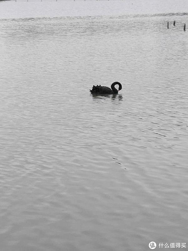 湿地公园里的黑天鹅,离得比较远,建议去厦大芙蓉湖看黑天鹅