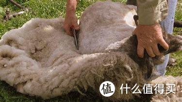 手动剪羊毛