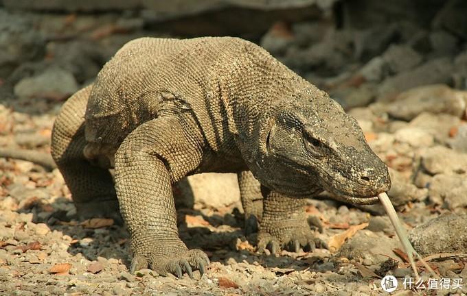 巴厘岛隔壁的冷门海岛,有少女心爆棚的粉红沙滩也有超酷的科莫多巨蜥