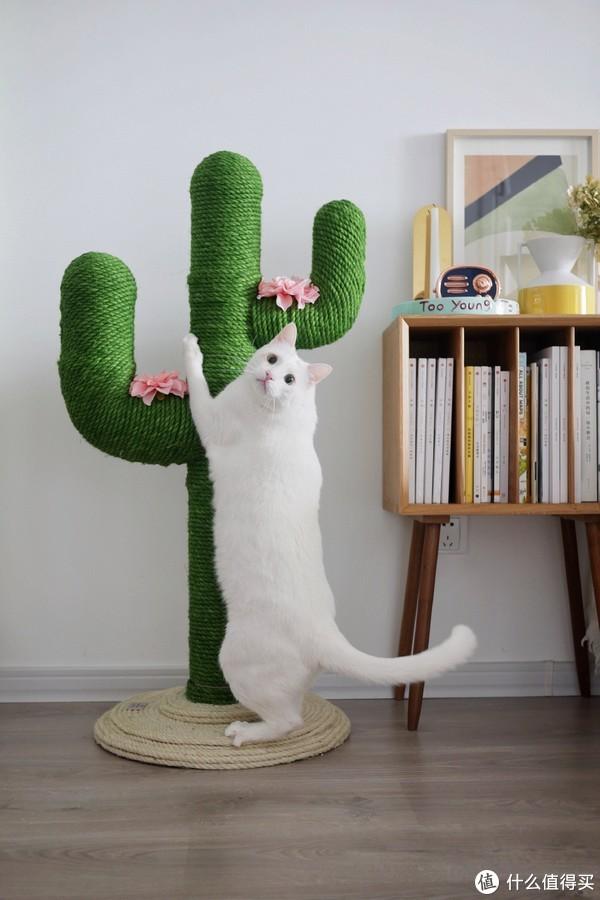 无法登顶,小胖猫很忧伤~仙人掌的底盘很重,家有中小体型的猫咪是无需担心它的稳定性的