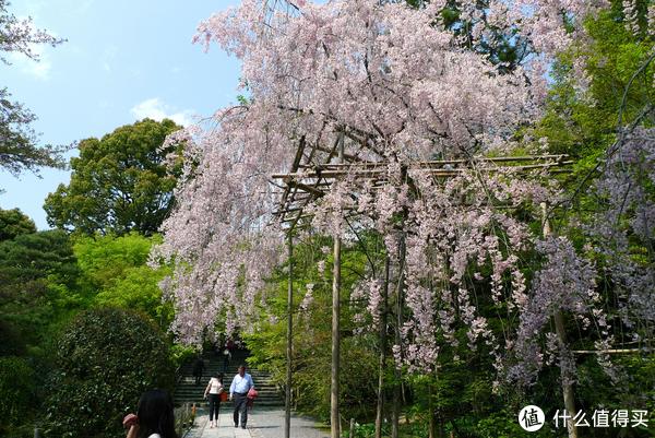 龙安寺门口的垂枝樱花