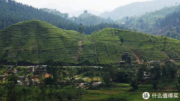 远处的茶山