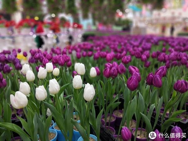 广州百万葵园寻花之旅