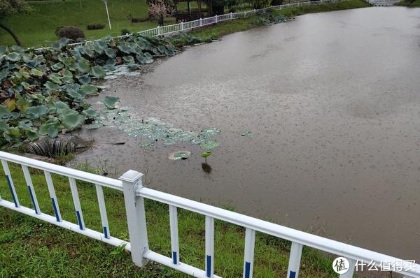 池塘里边一朵新生的荷叶