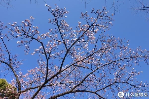 唯一开花的樱花树,快接近满开的状态