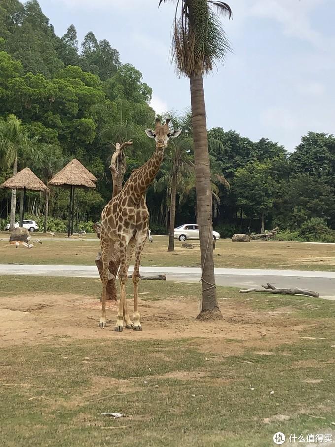 闲逛的长颈鹿