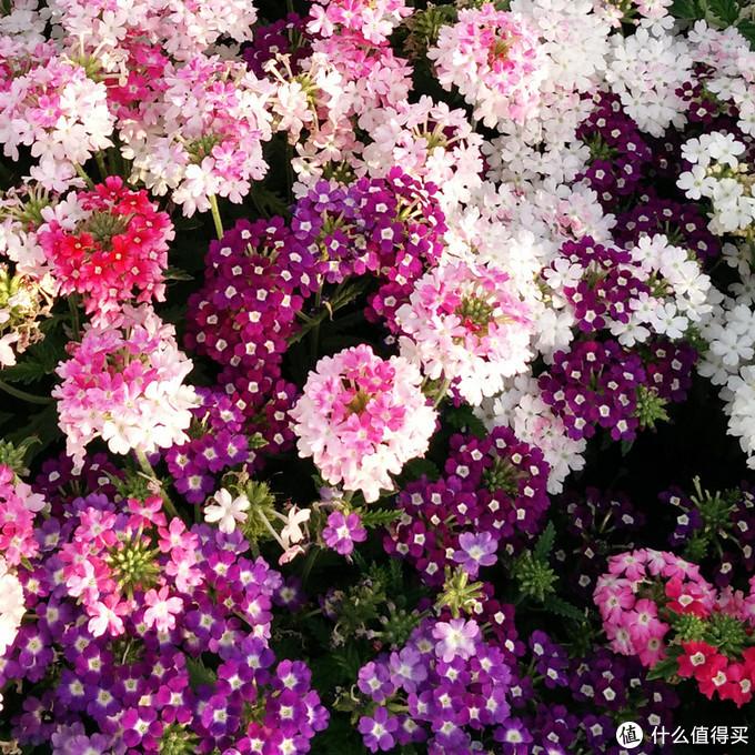逆寒生长 那些能够在冬春的低温里盛放的家养仙花(下)
