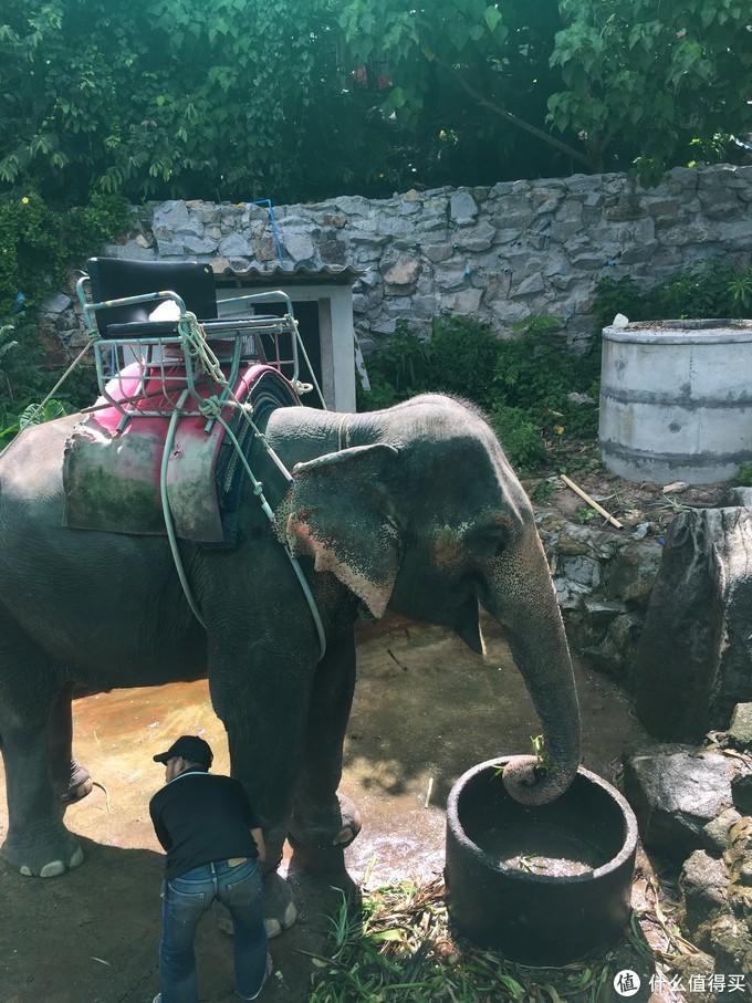 正在进食的大象