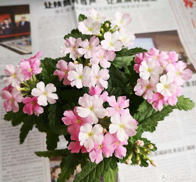 不是假花哦,其实美女樱的单独颜值也是很强的,只是经常被用花海战术……