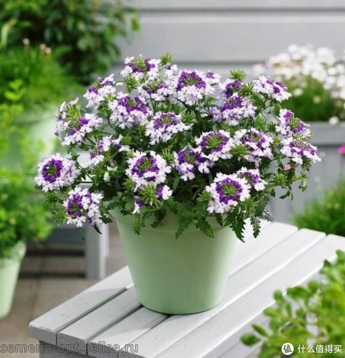 这个品种比较有趣,花簇向内的部分花瓣是紫色,网上还有同款枚红色