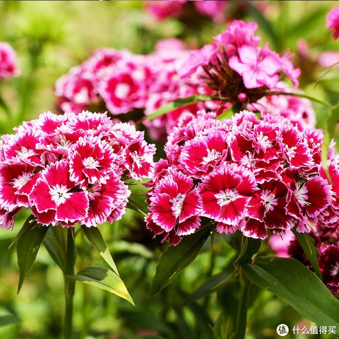 同时也因为丰花和直立生长的的外形,成为出色的切花
