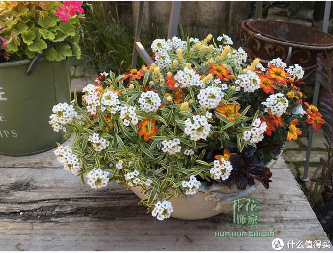经常搭配其他品种的花花做拼盆,注意这盆是花叶的品种,可以观叶
