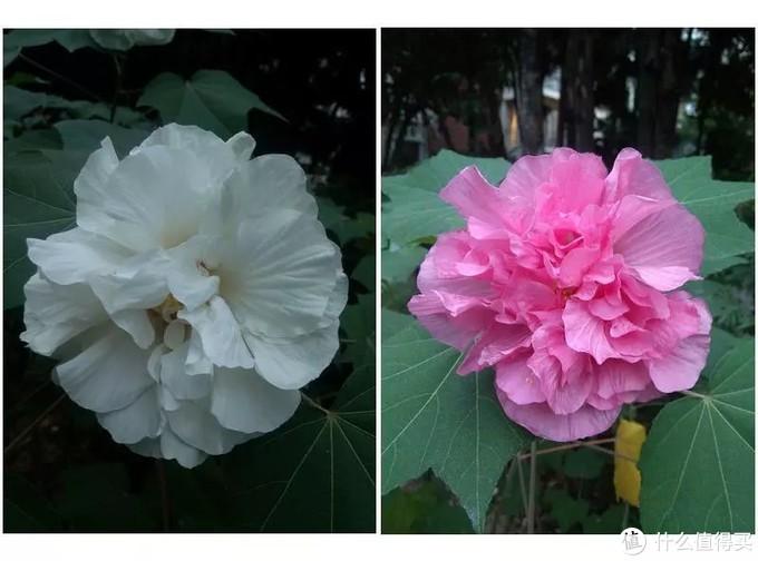变色木芙蓉,早上是白色,到了傍晚就是变成粉色了,这个花很惹虫子,只能种在花园外面