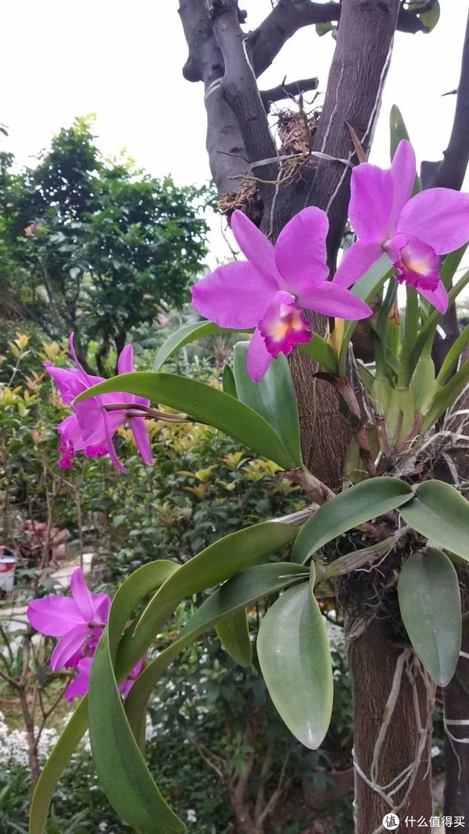 领导种兰花,喜欢绑树上,家里的柚子树,黄皮树,树的表皮不光滑,最适合,卡特兰比较的大朵