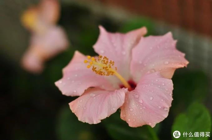 领导有了一种花之后,就喜欢收集各种颜色,这个是粉色的扶桑