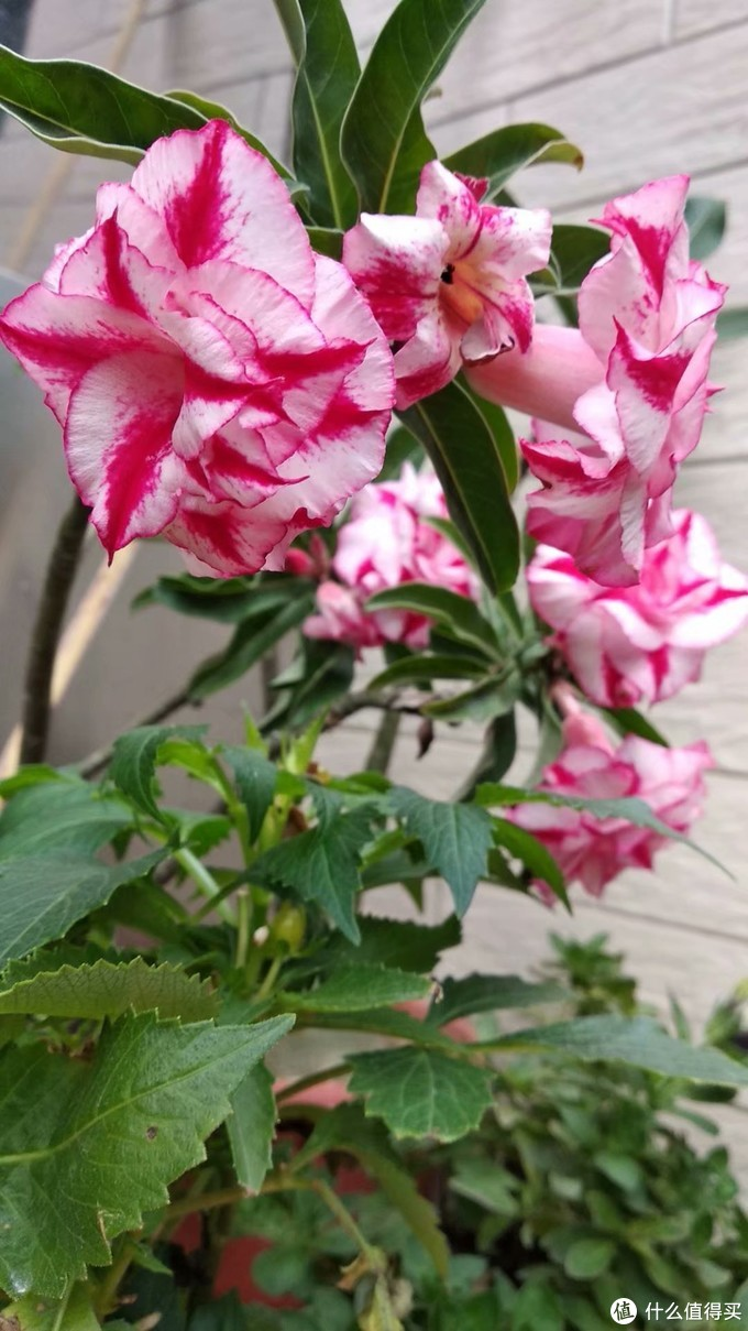 沙漠玫瑰,这个花,植株有点像猴面包树,很粗的主干,上面才是枝叶,根本不用打理,连水都不怎么需要,水太多只会淹死它,没有记错的话,因为属于夹竹桃科,所以汁液是有毒的。