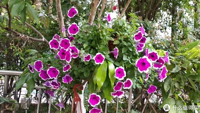 单瓣的矮牵牛,矮牵牛也是很多花色,花型,容易养护,只要肥料够了,绝对能爆盆的开花,一大个花球的样子,十分的好看,领导重点集邮系列