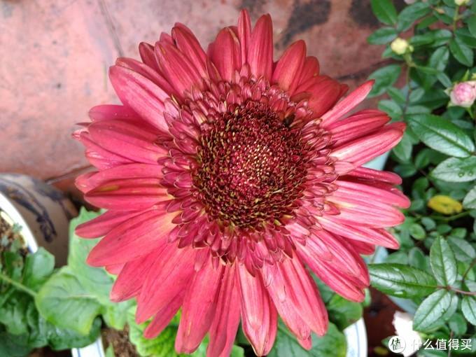 红色巨型非洲菊