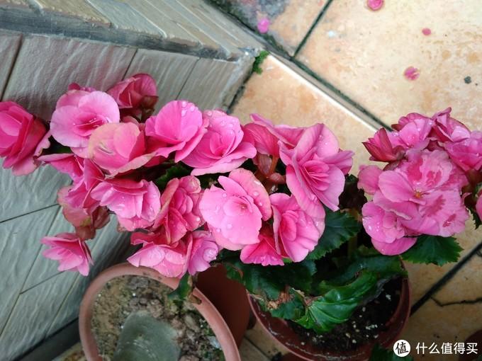 玫瑰海棠,属于秋海棠,也是花色众多,一片长出来也好看,但是病虫害不少,种几颗看看好了
