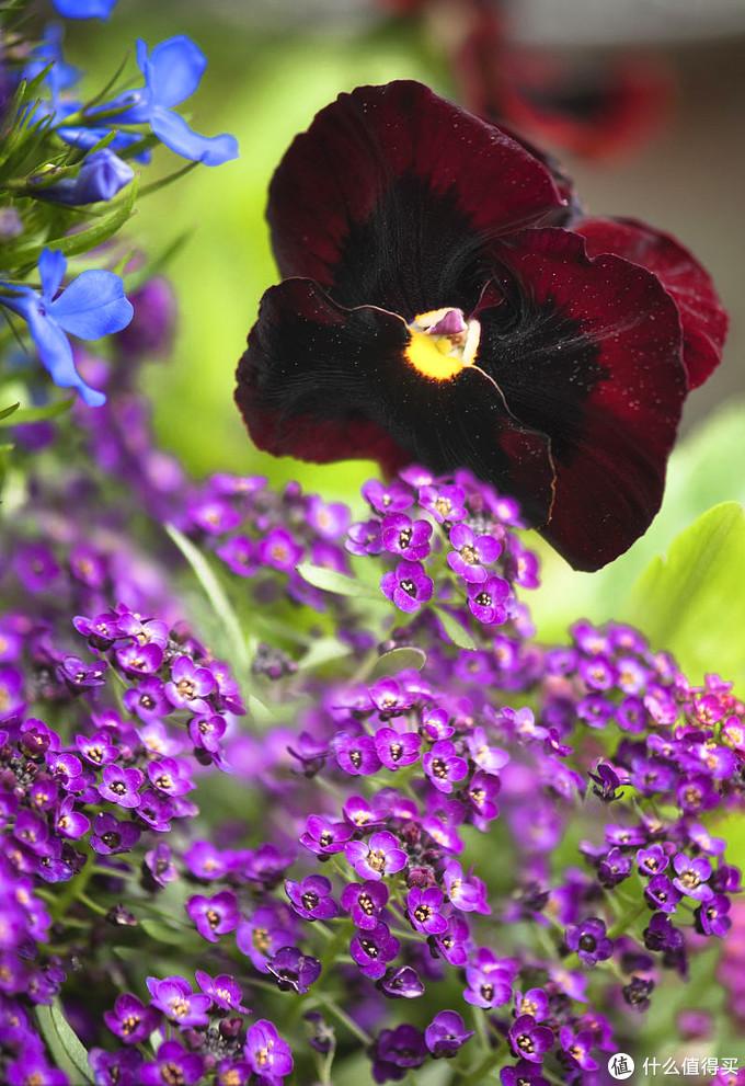 和三色堇比一下,花簇显得格外小巧