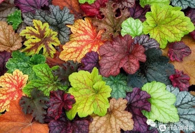 """矾根的颜色非常非常多,可以说是名符其实的花园""""调色盘"""""""