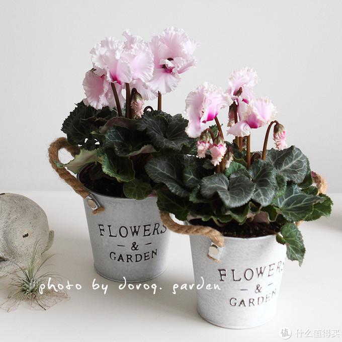 虽然是大家熟视无睹的家养花卉,其实原产是叙利亚,希腊,黎巴嫩的高山上。