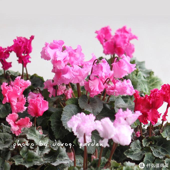 报春花科的植物可都是在0℃线左右生存的