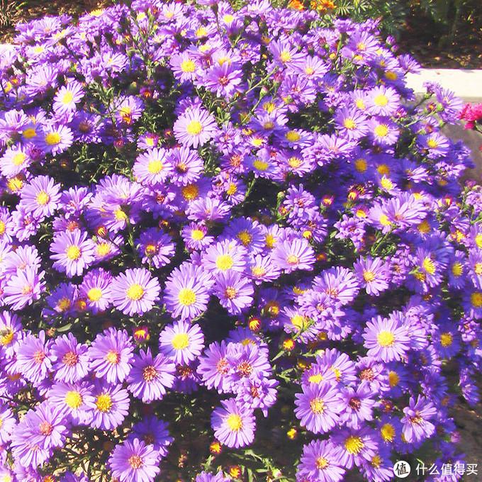 紫菀花,花量超大,低温开花