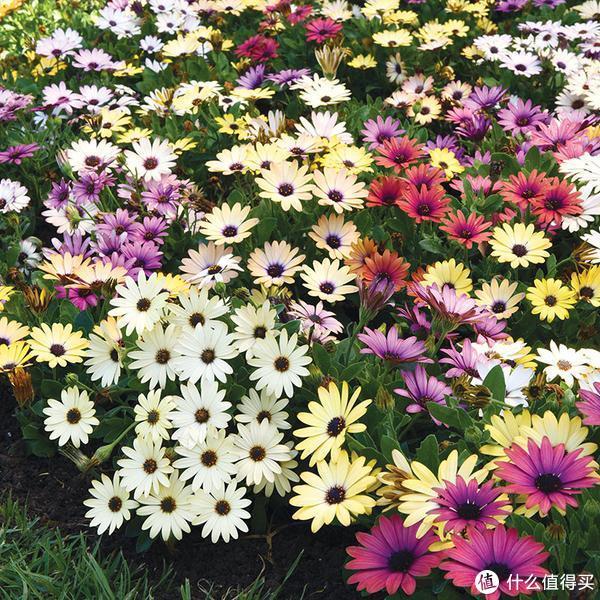蓝目菊,露养春秋2季开花,室内盆栽可以通过控制花期而达到冬季开花