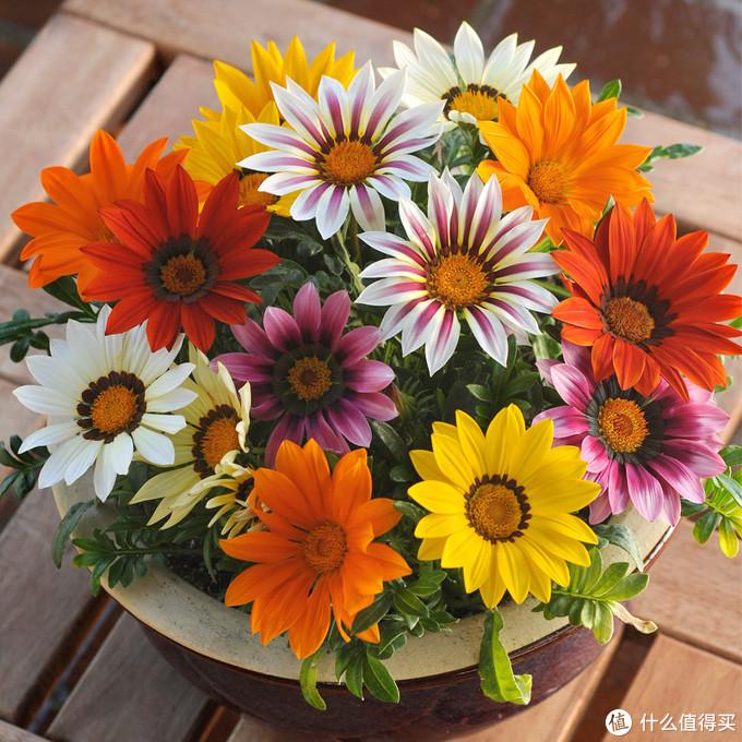 勋章菊,和上面两位一样,比较耐寒,花苗也可以在网上购买到,除了极低温和夏季高温的一个月,其他时间都可以入手种植